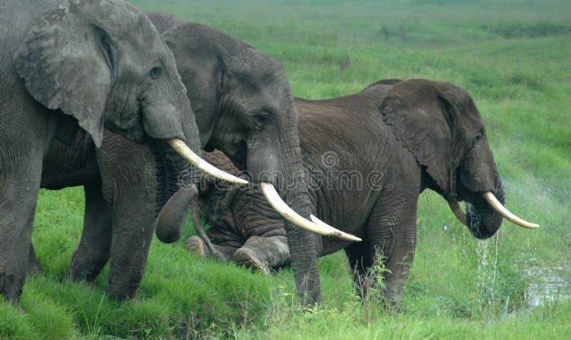 Olifanten in Tanzania, Afrika stock afbeelding