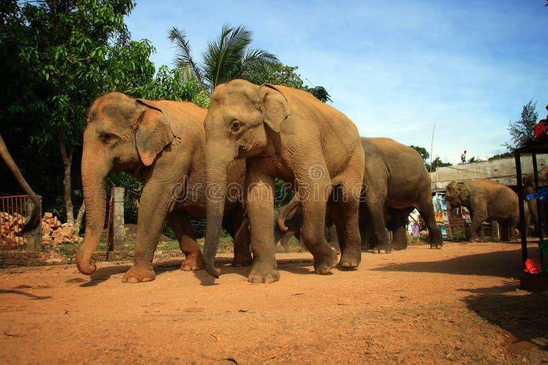 Olifanten van Pinnawela 3 stock afbeeldingen