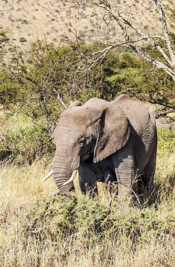 Olifanten in verticaal stock afbeelding