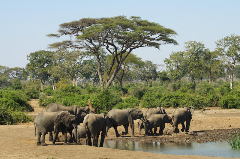 Olifanten in Waterhole royalty-vrije stock afbeeldingen