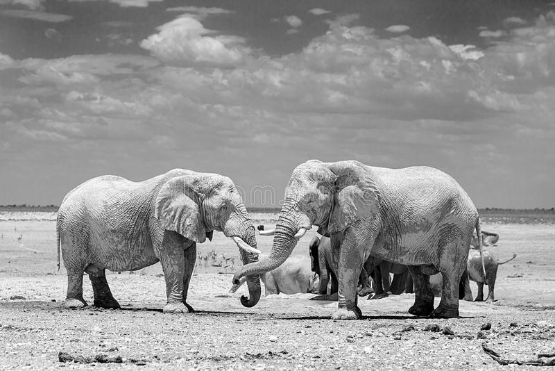 2 olifanten in zwart & wit in het Nationale Park van Etosha stock fotografie