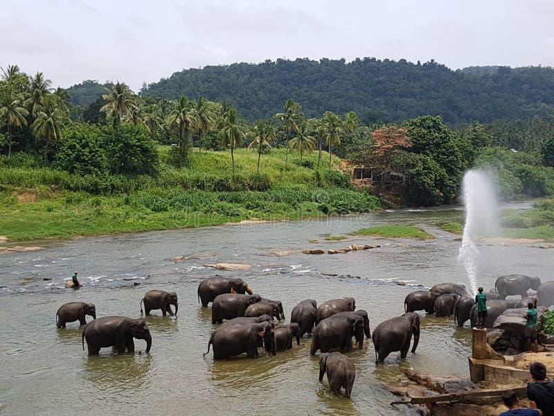 Olifantenbad in de Rivier in Sri Lankan stock foto