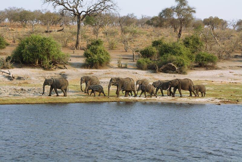 Download Olifantenfamilie In Chobe Riverfront Stock Foto - Afbeelding bestaande uit dier, blauw: 39111352
