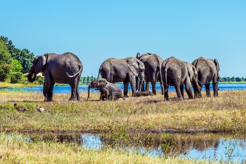 Olifantenvolwassenen en welpen die rivier kruisen royalty-vrije stock foto's
