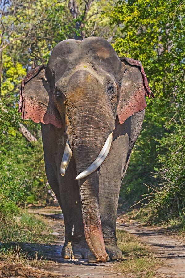 Olifants tusker portret stock foto's
