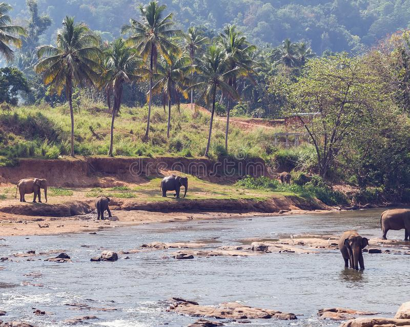 Olifantsbad in rivier Ceylon, Pinnawala stock foto's