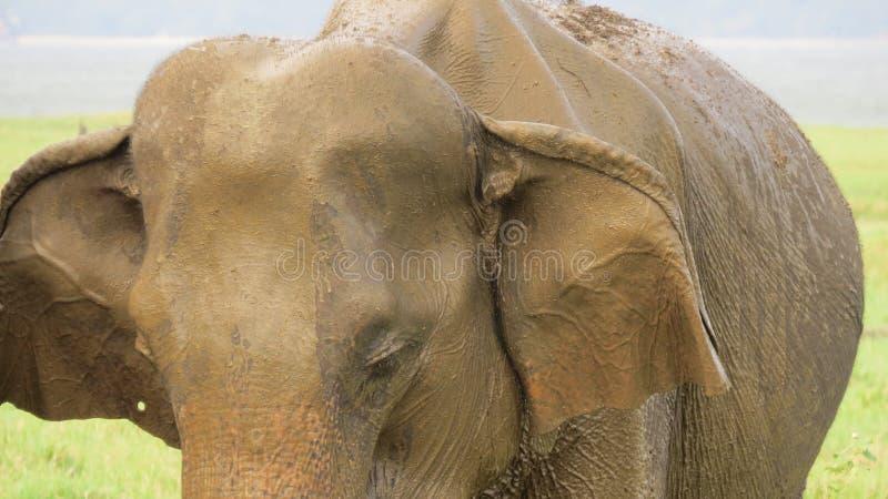 Olifantsclose-up - hebbend een groot modderbad royalty-vrije stock foto