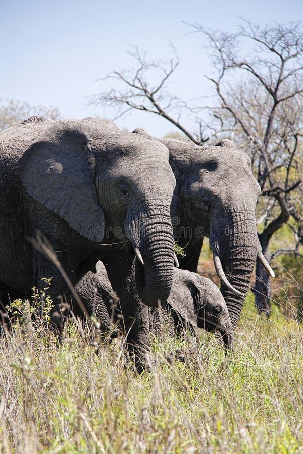 Olifantsfamilie in Afrikaanse struik stock afbeeldingen