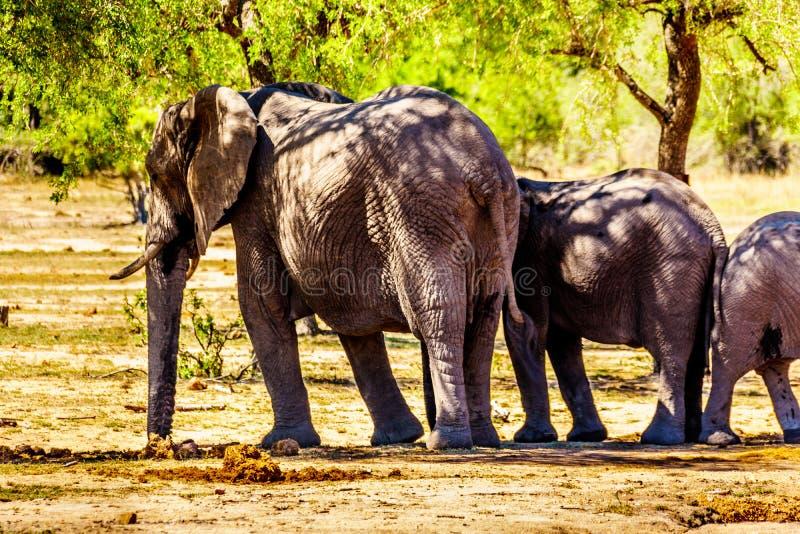 Olifantsfamilie bij Olifants-de bar van Drankgat in het Nationale Park van Kruger stock foto's