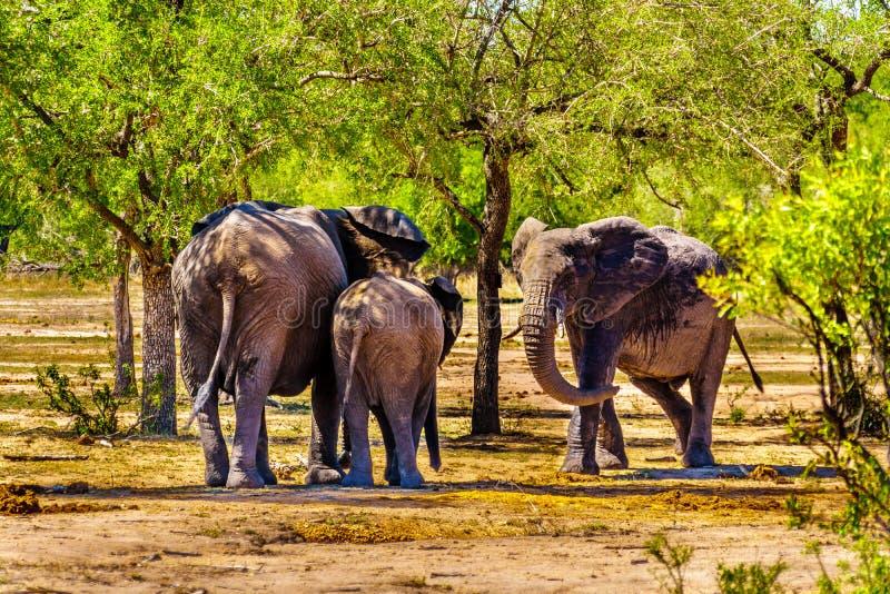 Olifantsfamilie bij Olifants-de bar van Drankgat in het Nationale Park van Kruger stock afbeelding