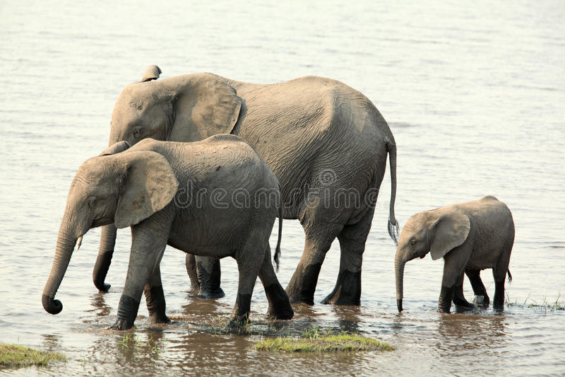 Olifantsfamilie die langs de rivier lopen stock foto's