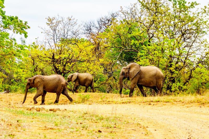 Olifantsfamilie in het bos van het Nationale Park van Kruger in Zuid-Afrika stock afbeelding