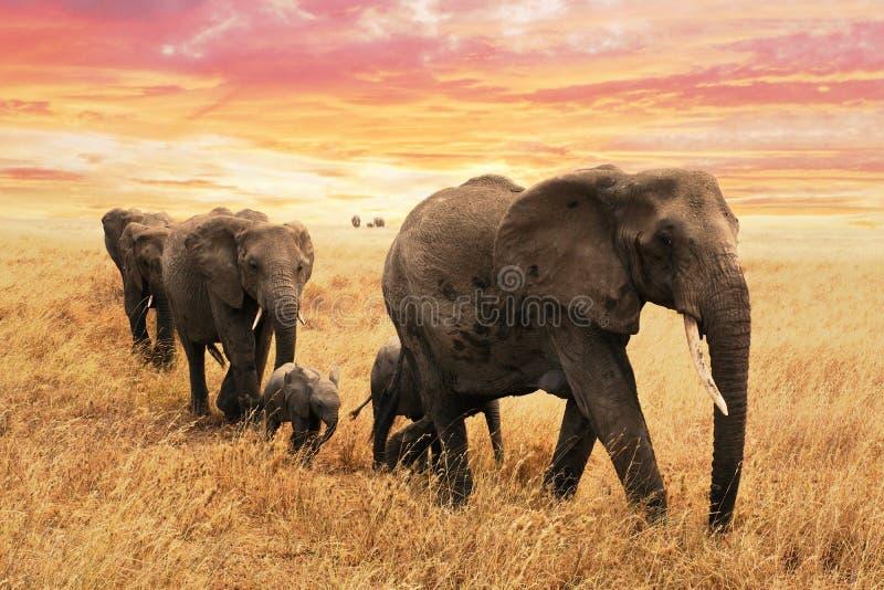 Olifantsfamilie op weg in savanne in Afrika Reis, het wild en milieuconcept stock foto