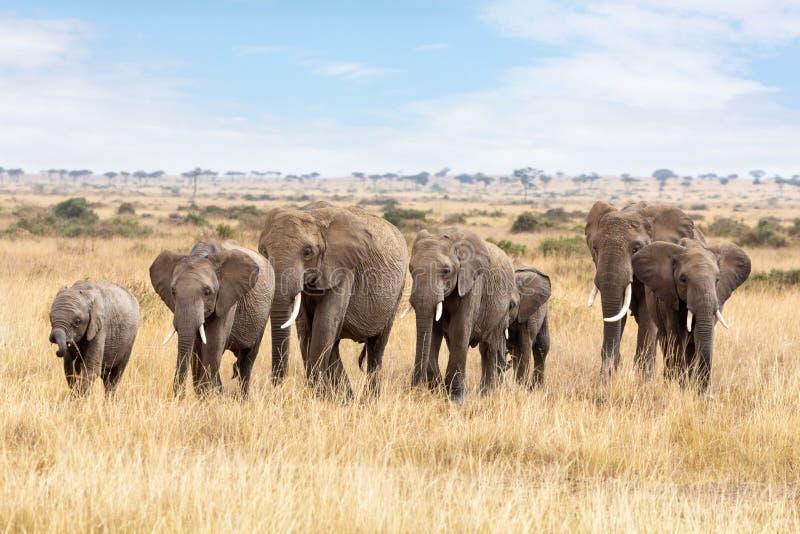 Olifantsgroep in Masai Mara royalty-vrije stock foto