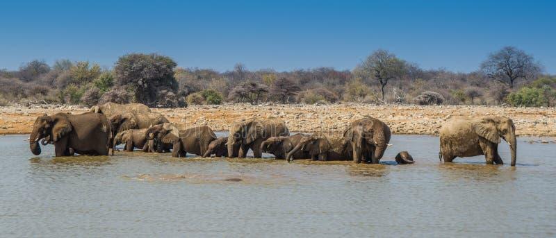 Olifantsgroep in Nationaal het Park21:9 van Etosha royalty-vrije stock afbeeldingen