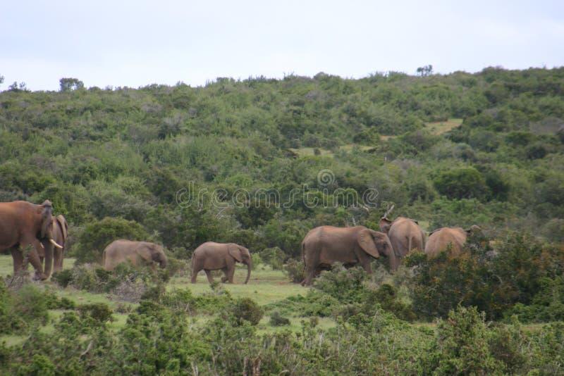 Olifantskudde in bos stock afbeelding