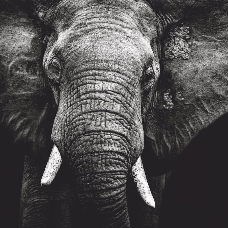 Olifantsportret stock afbeeldingen