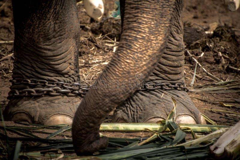 Olifantss voet aan een ketting wordt gebonden die stock foto