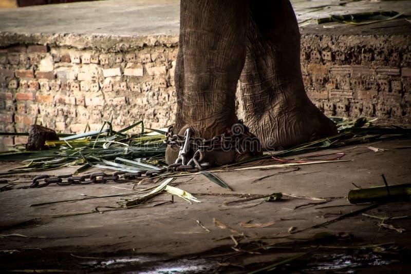 Olifantss voet aan een ketting wordt gebonden die stock afbeeldingen