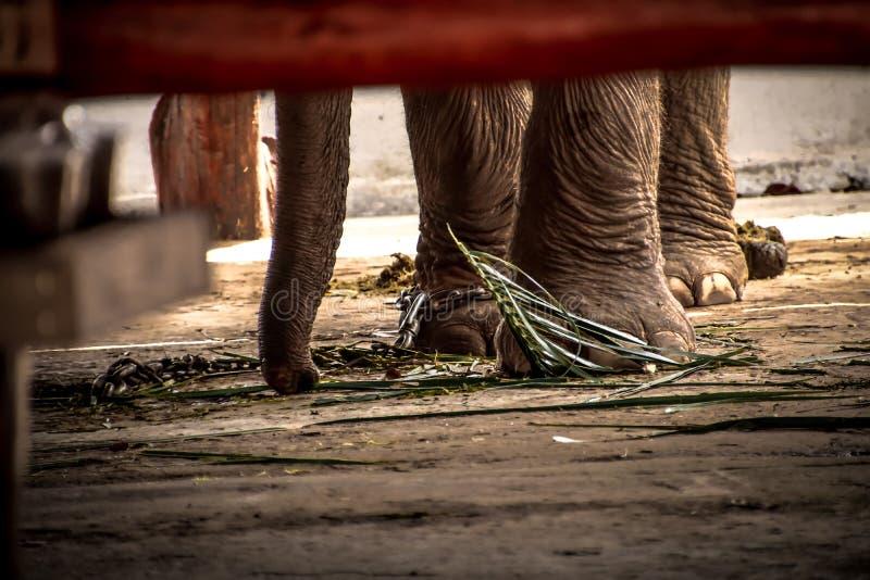 Olifantss voet aan een ketting wordt gebonden die royalty-vrije stock afbeelding