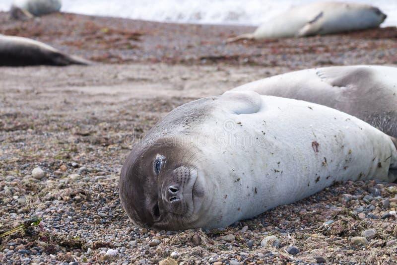 Olifantsverbinding op strand dichte omhooggaand, Patagoni?, Argentini? royalty-vrije stock afbeeldingen