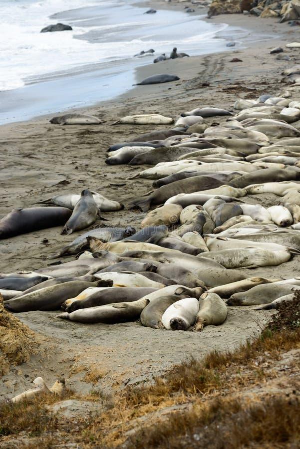 Olifantsverbindingen bij het strand dichtbij San Simeon, Californië, de V.S. stock afbeeldingen