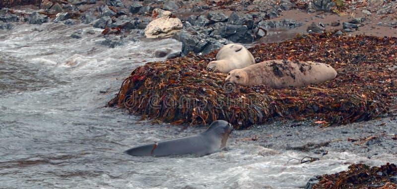 Olifantsverbindingen die op kelpbed met jongelui één dichtbij op strand in Piedras Blancas op de centrale kust van Californië rus royalty-vrije stock afbeeldingen