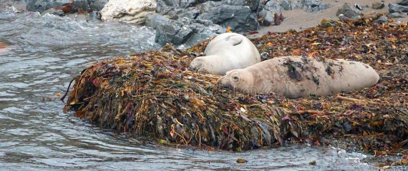 Olifantsverbindingen die op kelpbed op strand in Piedras Blancas op de centrale kust van Californië rusten - de V.S. stock foto's