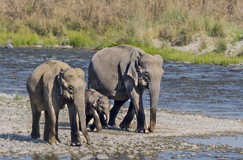 Olifantswijfjes die baby vervoeren onder bescherming stock afbeeldingen