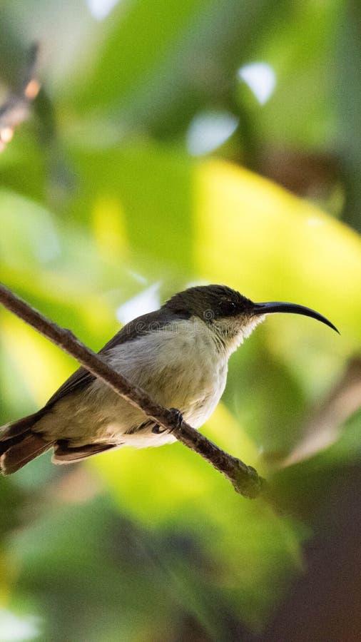 Olijf-gesteund Sunbird of geel-Doen zwellen Sunbird & x28; female& x29; stock fotografie