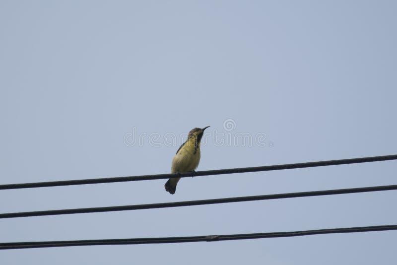 Olijf-Gesteund wijfje sunbird stock fotografie
