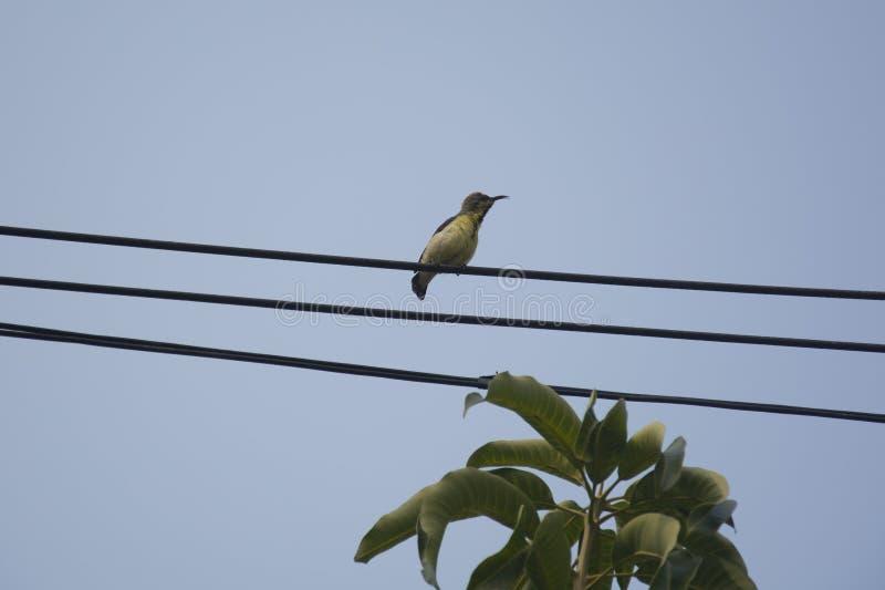 Olijf-Gesteund wijfje sunbird royalty-vrije stock foto's