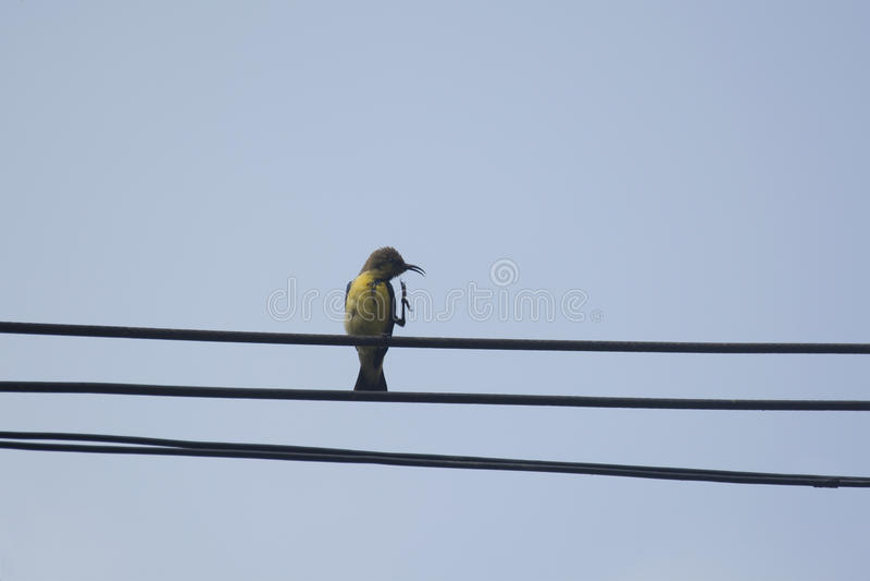 Olijf-Gesteund wijfje sunbird royalty-vrije stock foto