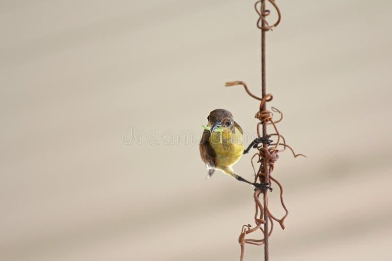 Olijf-gesteund wijfje sunbird, geel-doen zwellen vogel, met worm in I stock afbeeldingen