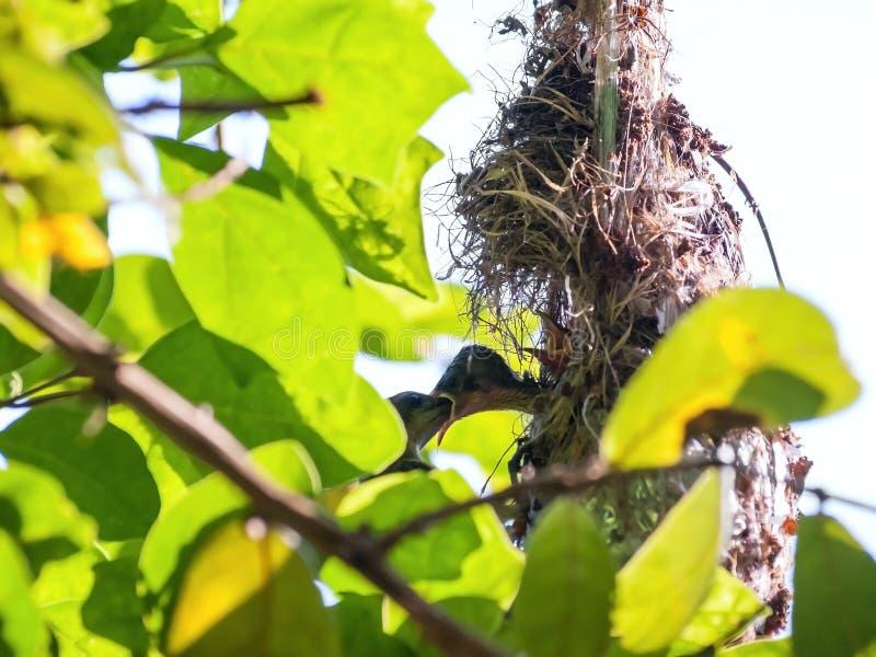 Olijf-Gesteund wijfje sunbird het voeden van haar kind royalty-vrije stock afbeelding