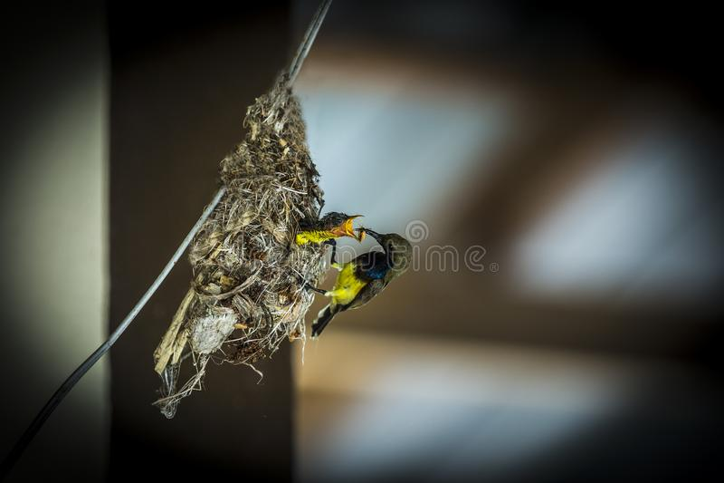 Olijf Gesteunde Sunbird royalty-vrije stock afbeelding