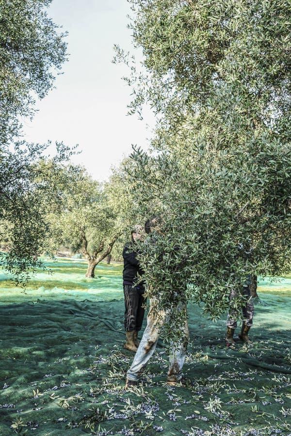 Olijf het oogsten in klein dorp in het gebied van Puglia in zuiden van Italië stock foto
