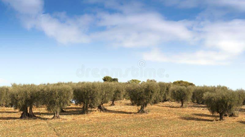 Olijfbomen stock fotografie
