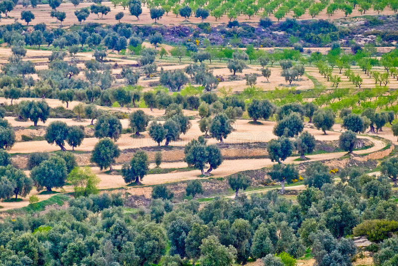 Olijfbomen in bosje stock fotografie