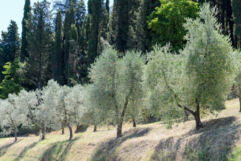 Olijfbomen dichtbij Greve in Chianti op Toscanië royalty-vrije stock afbeeldingen
