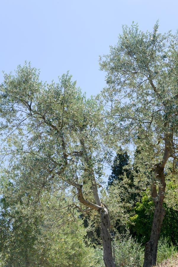 Olijfbomen dichtbij Greve in Chianti op Toscanië royalty-vrije stock fotografie