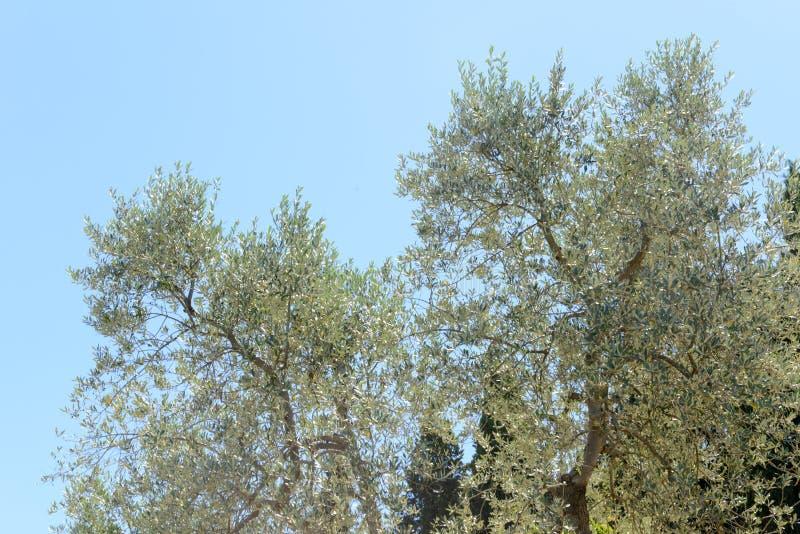 Olijfbomen dichtbij Greve in Chianti op Toscanië royalty-vrije stock foto