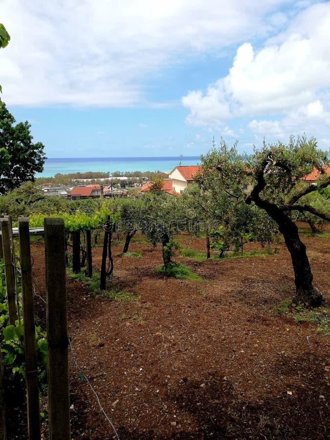 olijfbomen en het overzees op de horizon stock foto's