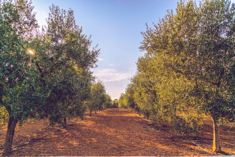 Olijfbomen in het platteland van Ostuni royalty-vrije stock foto's