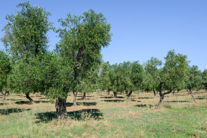 Olijfbomen op Puglia stock foto