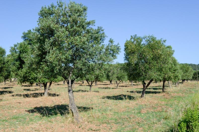 Olijfbomen op Puglia royalty-vrije stock afbeelding