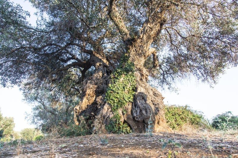 Olijfbomen in Salento, Italië stock foto's