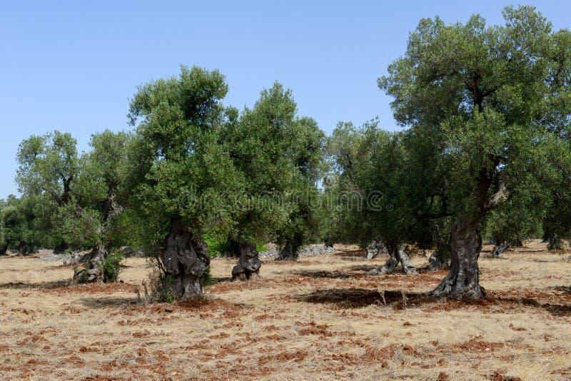 Olijfbomen in Salento op Puglia royalty-vrije stock fotografie