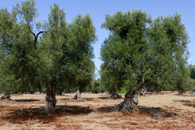 Olijfbomen in Salento op Puglia stock foto
