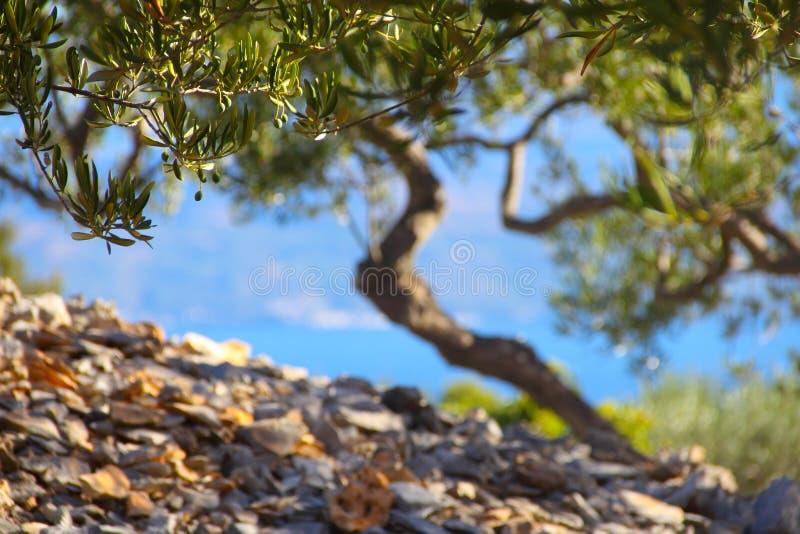 Olijfbomen in tuin stock fotografie